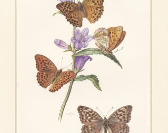Vintage lithograph of the silver-washed fritillary, brush-footed butterfly from 1955