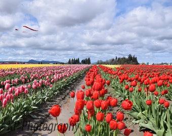 Rainbow Tulips with Kite Photo Blank Greeting Card- Tulip Festival