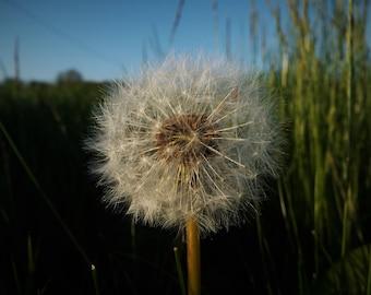 Dandelion Photograph - landscape