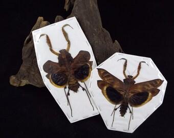 Spread Deroplatys desiccata pair Bark Mantis