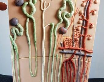 Vintage Anatomy Medical Model Wall Art 1950's Original