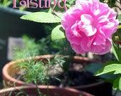 rose sachets violet scented
