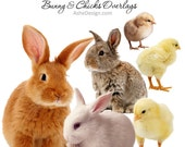 Photoshop Templates | Photo Overlays | Bunny & Chick Overlays | (6) .png File Overlays.