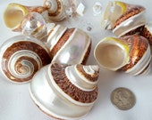 Beach Turbo Shell, Nautical XL Polished Turban Seashell, Brown Petholatus Turbo Shell, Banded Turbo Shell, Collector Shell, Specimen Shell