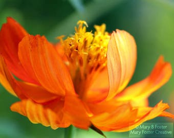 Orange Flower Photograph, bright wall art, summer colors decor, macro floral photography print, Cosmos sulphureus 'Sunrise' 7x5 10x8 14x11