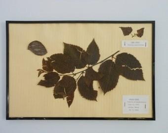 Vintage 1968 botanical specimen by Maine arborist - White Ash