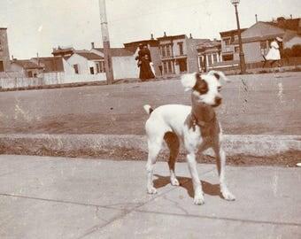 Cute Little NIPPER DOG Bess Standing on the Sidewalk Photo circa 1910s