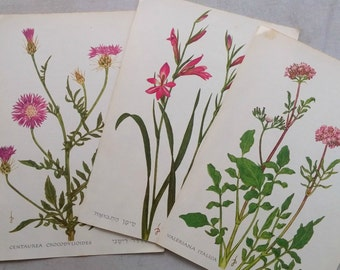 Wild Flower Illustration, Botanical Book Plates, Israel Beach Flower Drawings, Plant Book pages, Vintage Ephemera, Floral Art For Framing