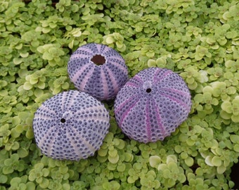 "Indo Purple Urchin 1.5""+"