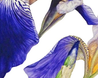 Purple Iris - fine art botanical print, 16 x 11 or 13 x 19inch, botanical watercolor, botanical art