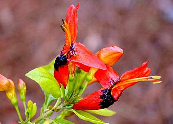 Ruttya fruticosa, Hummingbird Vine, Rabbit Ears, 5 rare seeds, shrubby vine, zones 8 to 11, drought tolerant, great container plant, hummers