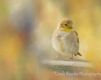 American Goldfinch, Bird Photography, Bird Watcher, Photography, Nature, Fine Art Photography, Bird Photograph