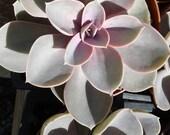 Succulent Plant -Purple Echeveria, Perle Von Nurnberg