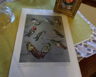 Vintage Pamphlet Reference Print Page-Hummingbirds-Rouis Agassiz Fuertes Artist