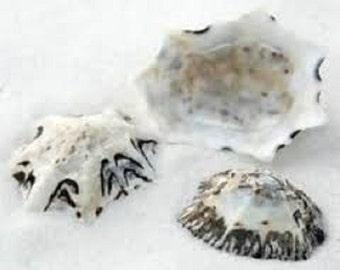 Bulk Star Limpet Seashells - Craft Floral Supply Photo Prop