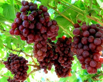 1 Flame Seedless Grape Plant 2yr Rooted Cutting