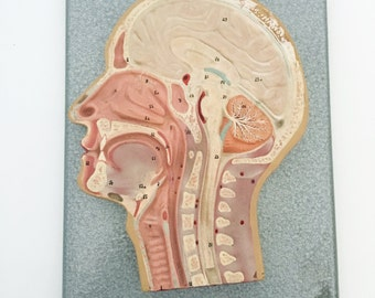 1930s German Head Cross-Section Anatomical Model / Vintage Medical Teaching Model