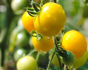 Gold Nugget Cherry Tomato, OP  10+ seeds