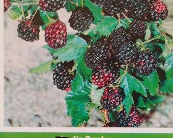 2'-3' Kiowa Thornless Blackberry Plant Live Healthy Garden Plants Blackberries Amino Acids Minerals Garden Grow Your Own Health Food Gardens