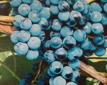 Venus Blue Grape Vine 2 Gal. Live Healthy Plant Grapes Plants Vineyards Garden Vineyard New Fruit Grow Your Own Natural Antioxidants Gardens