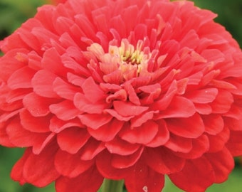 AZ)~RASPBERRY CORDIAL Zinnia~Seeds!!!!~~~~~Perfection!