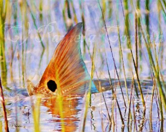Redfish tailing on the flats print: redfish tailing art, redfish painting, red drum tailing, spottail bass tailing, redfish on canvas, fish