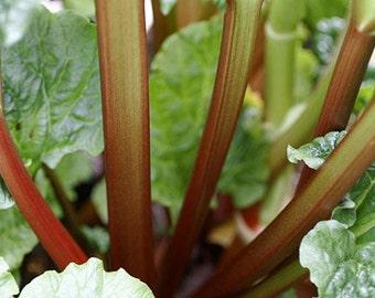 Rhubarb  Plant, Victoria  Heirloom Organic