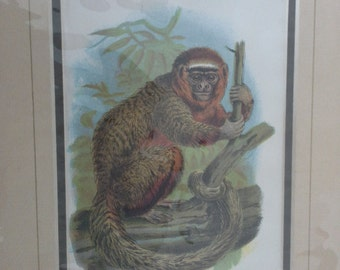 a vintage monkey print of the red titi