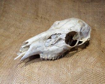 Deer Skull, Doe, Skeleton, Natural History Salvage