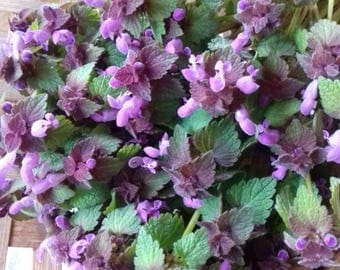 Purple dead Nettle Lamium purpureum 1 oz