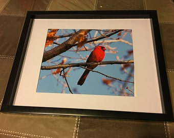 Cardinal, bird, 81/2x11, fine art, Photo print