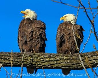 Bald Eagles at Reelfoot Lake  #0880