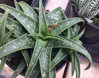 Medium Succulent Plant Aloe Firebird. A beautiful, deep emerald green aloe with white speckles on its leaves.