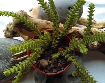 Crassula purpusii 6,5 cm Succulent Plant Fully Rooted