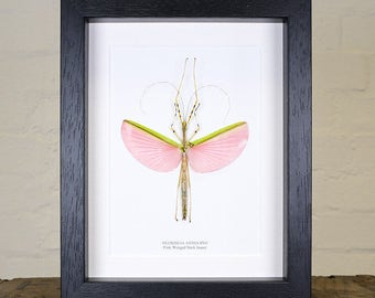 Pink Winged Stick Insect in Box Frame (Necroscia annulipes)