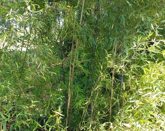Fast Growing Black Bamboo