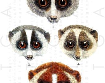 Most Adorable LEMUR FACES Vintage Print. Lemurs Antique Illustration. Vintage Lorises Digital Lemur Image. Digital Lemur Download.
