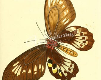 butterflies-05292 - panthous papilio exotic brown yellow color butterfly vintage high resolution printable image jpg old book page digital