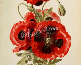 flowers-31810 - papaver umbrosum, rhoeas, common poppy, corn rose, field, Flanders red flowers bouquet burgeon vintage printable picture jpg