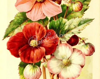 flowers-17189 - Seedling Begonia White Red flower plant digital vintage illustration picture public domain image scan high resolution large