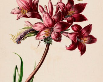 flowers-18092 - lilium rosaea Pink Lily butterfly caterpillar on flower digital download vintage picture image public domain illustration