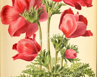 flowers-29338 - anemone simple ecarlate hative red digital illustration flower plant botanical floral clipart book page paper download image