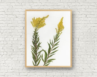 Goldenrod - Botanical Print from Real Pressed Flower - Herbarium Wildflower Art - Yellow Flower Weed 8 X 10 - 11 X 14 Eco Art - Nature Decor