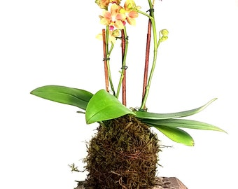 Blooming Kokedama Orchid \\ Bonsai \\ Mother's Day \\ Housewarming Gift \\ Feng Shui