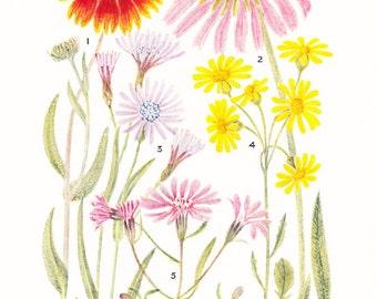 1930s Flower Print - Aster - Vintage Home Decor Botany Art Illustration for Nature Science Woman Great for Framing