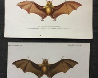 1861 ANTIQUE BAT ENGRAVING roussette print original antique flying fox fruit bat engraving rare and elegant