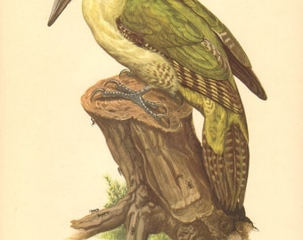 1953 European Green Woodpecker - Picus viridis Vintage Offset Lithograph