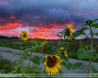 Nature decor sunflowers pink sunset photo, fuchsia pink sunset photograph, print you can frame for your wall, large wall art, nature lover
