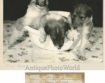 Cute puppies in bowl vintage dog photo