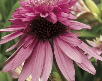 PBCO) DOUBLE DECKER Coneflower~Seed!!!~~~~~~~~Tops that Explode!